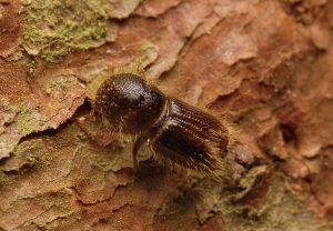 Kornik, zwalczanie kornika, zwalczanie szkodników drewna, jak zwalczyć korniki