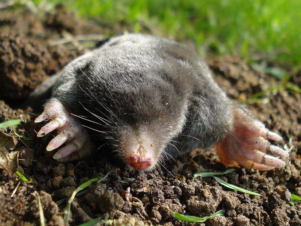 Zwalczanie kretów, kopiec kreta, szkodnik gleby