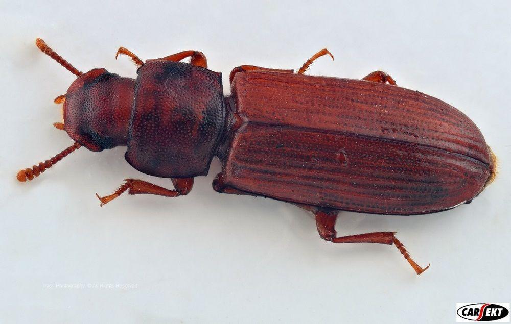 Tępienie owadów magazynowych, trojszyk ulec szkodliwość