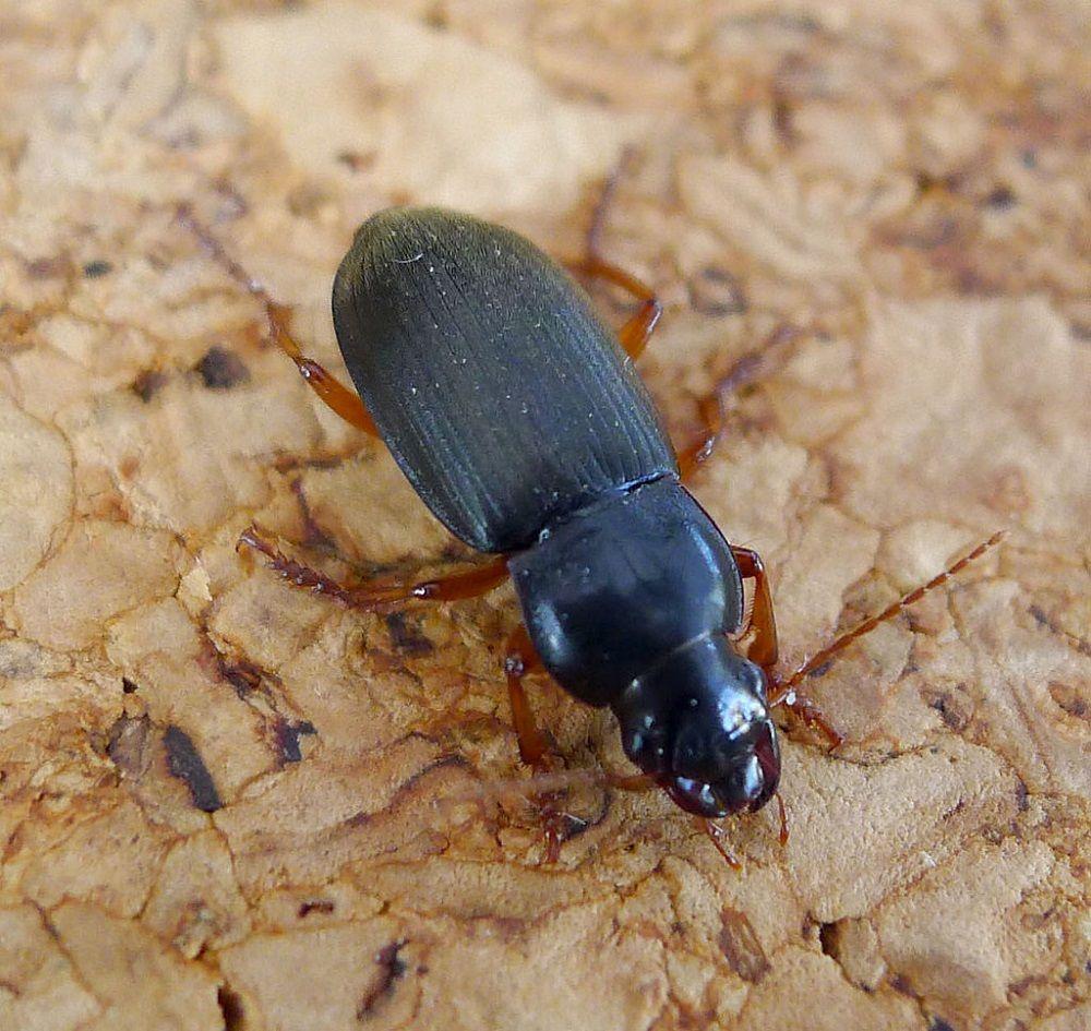 Dzier włochaty - czarny chrząszcz, który podgryza ziarno