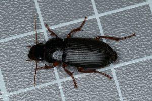 Dzier włochaty - czarny chrząszcz, który podgryza truskawki