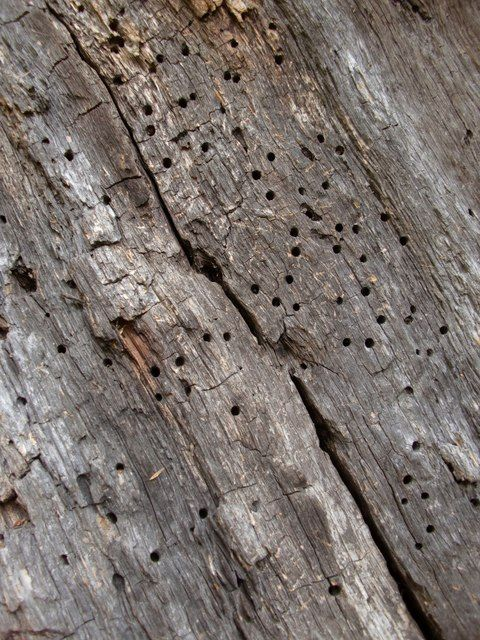 Szkody w drewnie wywołane przez tykotka pstrego