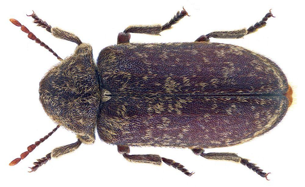 Tykotek pstry (Xestobium rufovillosum) - groźny szkodnik drewna