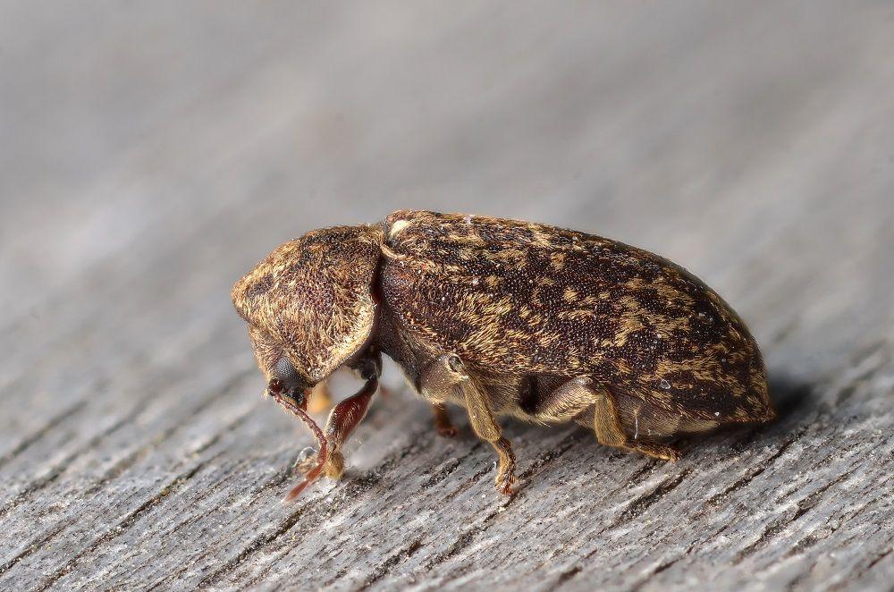 Szkodnik tykotek pstry (Xestobium rufovillosum) siedzący na drewnie