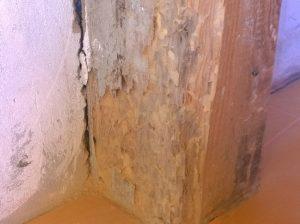 Spuszczel pospolity zniszczone drewno w domu