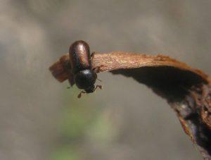 Drwalnik paskowany wyrządza szkody w drewnie