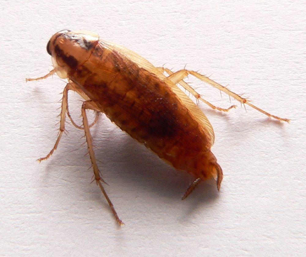 Karaczan prusak, potocznie karaluch, który zasiedla skupiska ludzkie