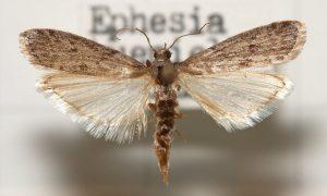 Mklik mączny (Ephestia kuehniella) jest szkodnikiem magazynowym