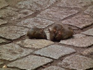 Mysz domowa, szukająca pożywienia na chodniku