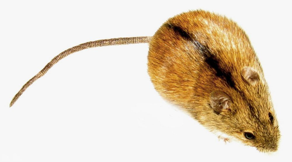 Myszarka polna, popularnie mysz polna