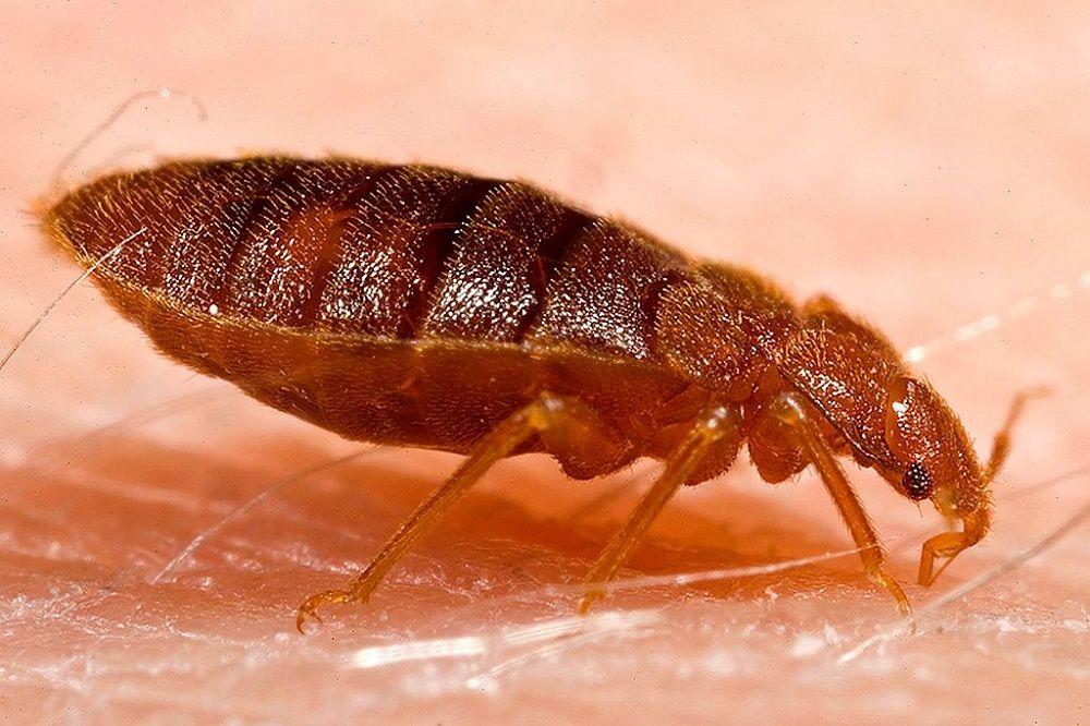 Pluskwa domowa (Cimex lectularius) na skórze człowieka