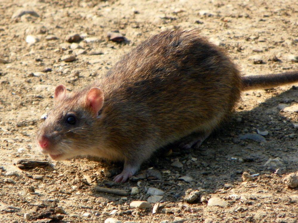 Szczur wędrowny, wredny i inteligentny gryzoń