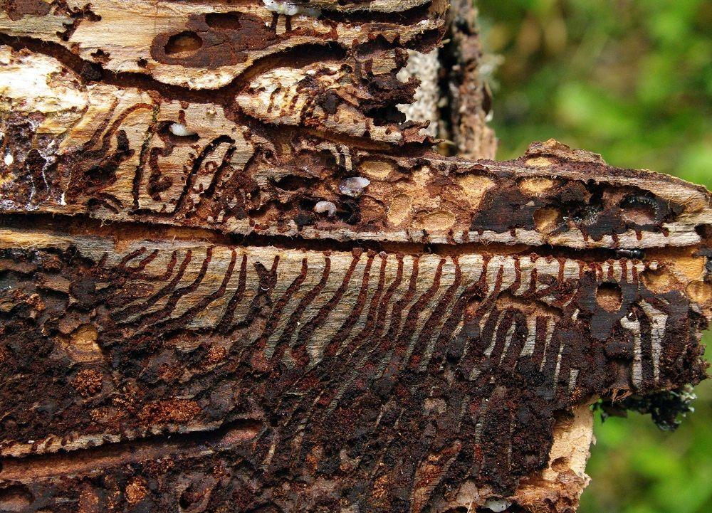 Korytarze w drewnie i larwa kornika drukarza